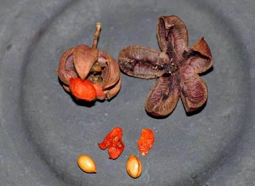 ツリバナ種子wb.jpg