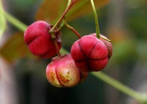 ツリバナ赤実1wb.jpg