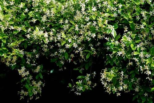 テイカカズラ2012wb.jpg