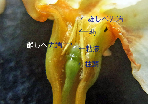 テイカカズラ花割面3wbL.jpg