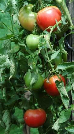トマト0907wb.jpg