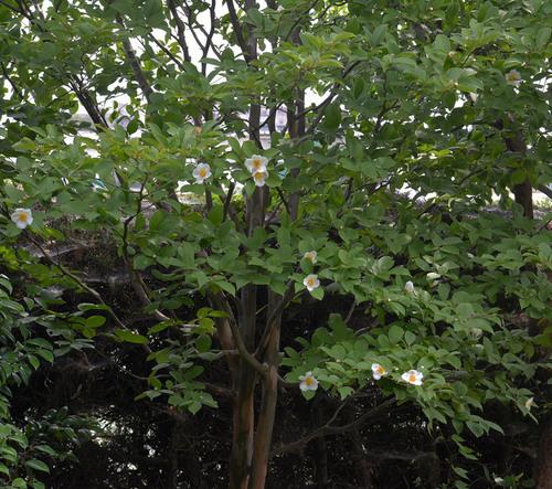 ナツツバキ花と幹1wb.jpg