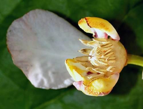 ナツロウバイ花被筒wb.jpg