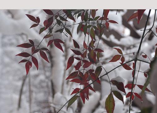 ナンテン葉雪2wb.jpg