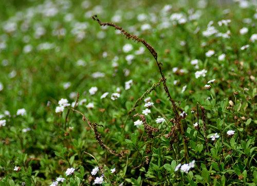 ネジバナ枯れ花リピアwb.jpg