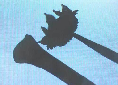 ネム柱頭と葯wb2.jpg