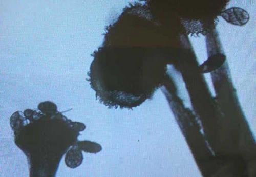 ネム雄しべ雌しべ花粉wb.jpg