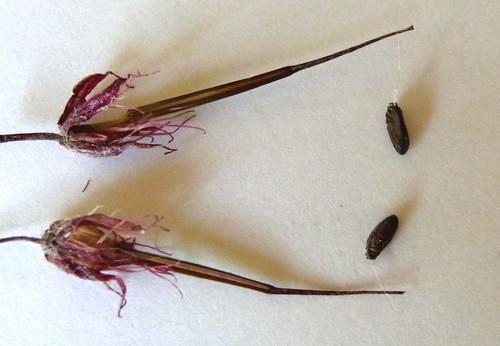 ヒメフウロ種子と糸wb.jpg