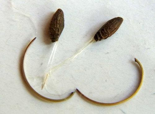 ヒメフウロ種子回収3wb.jpg