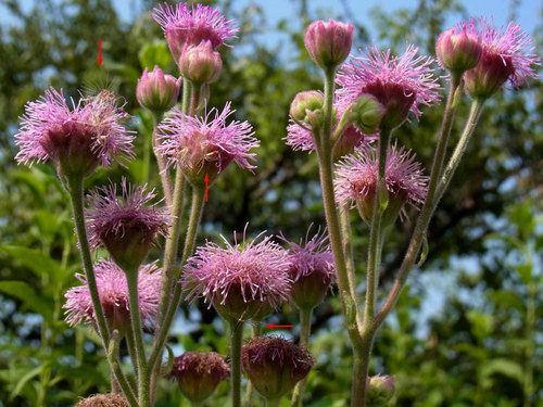 ポンポンアザミ種子0815wbL2.jpg