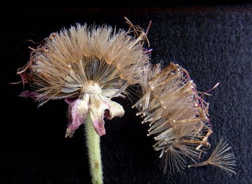 ポンポンアザミ種子完熟wb.jpg