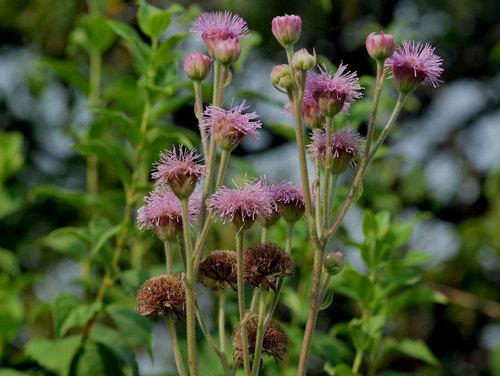 ポンポンアザミ種子採取0816w.jpg