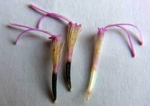 ポンポンアザミ若種子3wb.jpg