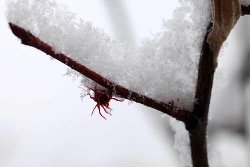マルバノキ10雪wb.jpg