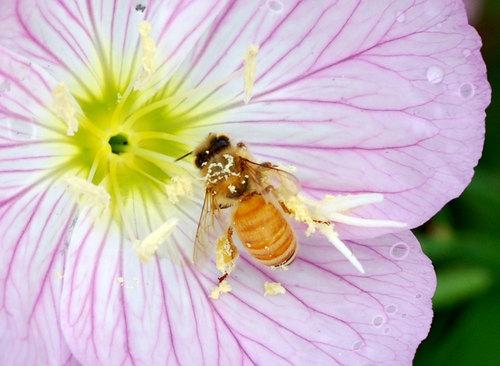 ミツバチ2wb.jpg