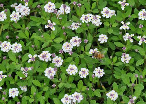 ミツバチと花wb.jpg