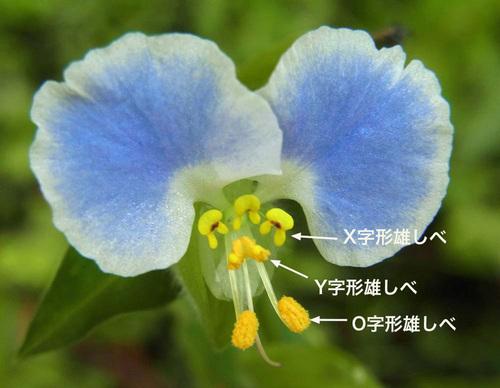 メガネツユクサ雄しべ3L種wb3.jpg