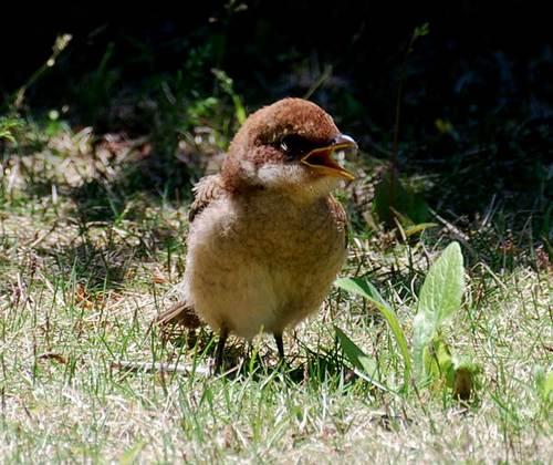 モズ幼鳥0517-4wb2.jpg