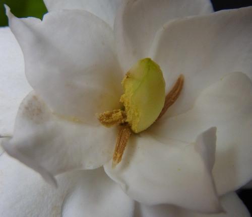 ヤエクチナシ花粉5wb.jpg