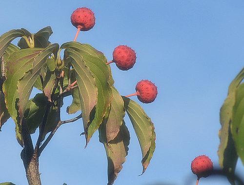 ヤマボウシの生果実wb.jpg