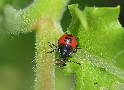 ルリクチブトカメムシ幼虫獲物1wb2.jpg