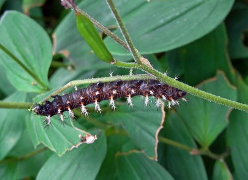 ルリタテハ幼虫1wb.jpg