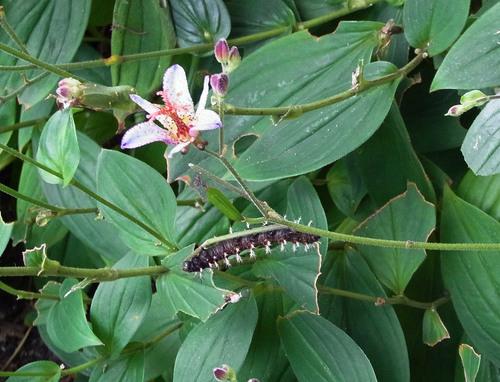 ルリタテハ幼虫3wb.jpg