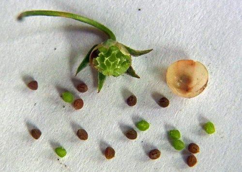 ルリハコベ種子2wb2.jpg
