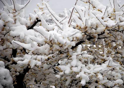 ロウバイ雪初めwb.jpg