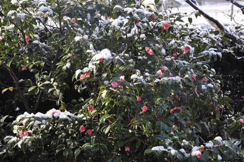 侘助P雪2015-2wb.jpg