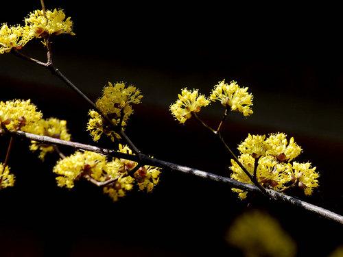 山茱萸20120321-3wb.jpg