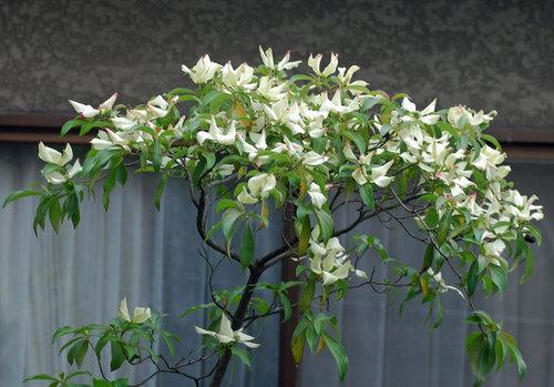 常緑ヤマボウシ2012.wb.jpg