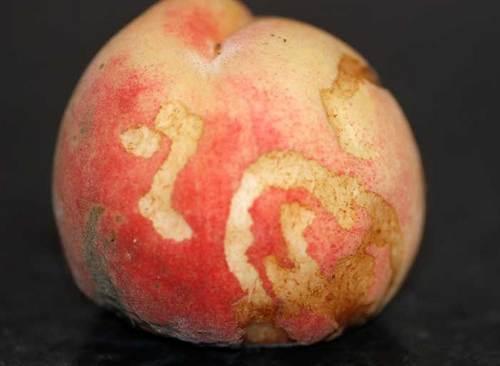 桃虫食い07wb.jpg
