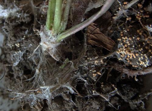 白絹病フジバカマ菌塊1wb.jpg