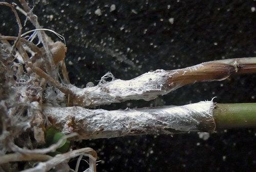白絹病フジバカマ菌糸4wb.jpg