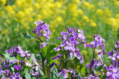 紫花菜とwb.jpg