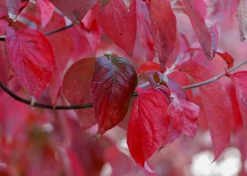 花水木紅葉11wb.jpg