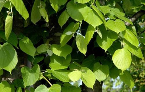 菩提樹葉090501wb.jpg