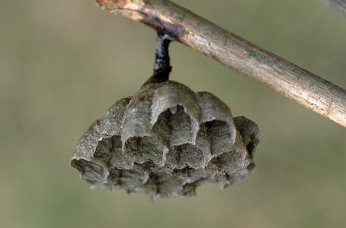 蜂の巣2012-1wb.jpg