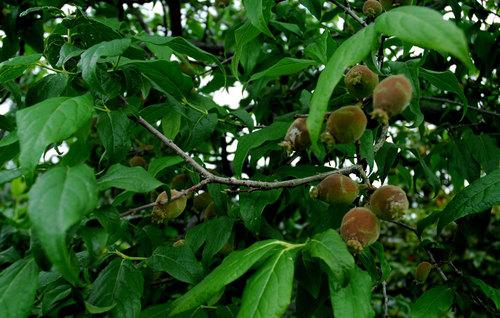 蝋梅若い実と葉wb.jpg