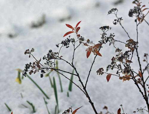 雪シモツケ1wb.jpg