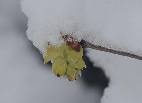 雪トサミズキ2wb.jpg