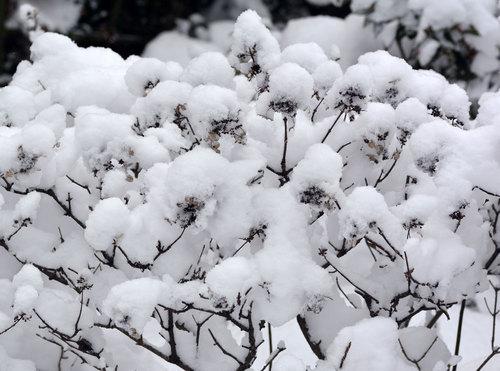 雪ノリウツギwb.jpg