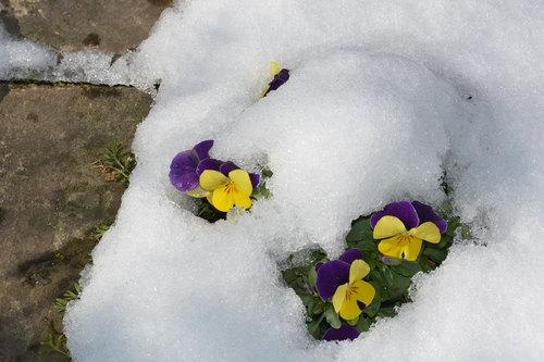 雪ビオラwb.jpg