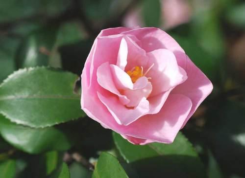 香り椿1003wb.jpg