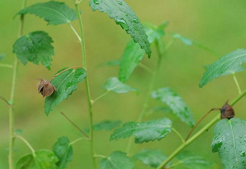 高砂芙蓉種1wb.jpg