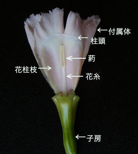 J-アイリス花芯文字wb.jpg